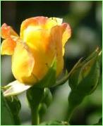 picture of yellow flower