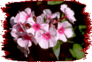 picture of pink flowers